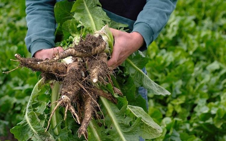 cykoria to roślina bogata w inulinę