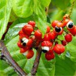 owoce krzewu Paulinia guarana, zawierające ogromne ilości kofeiny